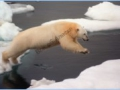Polar bear on iceflow